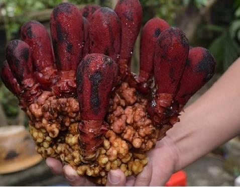 Chia sẻ tác dụng và cách dùng nấm ngọc cẩu